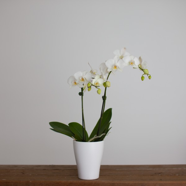 Phalaenopsis Orchid - Auckland Wide Delivery | Devonport Flowers on dracula orchid, mokara orchid, bright purple orchid, oncidium orchid, phalaenopsis bellina, maxillaria orchid, moth orchid, miltonia orchid, giant orchid, yellow orchid, flowers orchid, cattleya orchid, doritis orchid, dendrobium orchid, vanda orchid, vanilla orchid, jewel orchid, most rare orchid, ficus elastica, cymbidium orchid, most exotic orchid, paphiopedilum orchid,