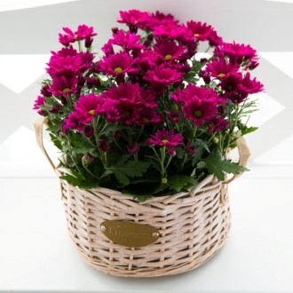 Chrysanthamum Plant in Basket