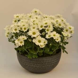 Chrysanthemun in Pot (2)